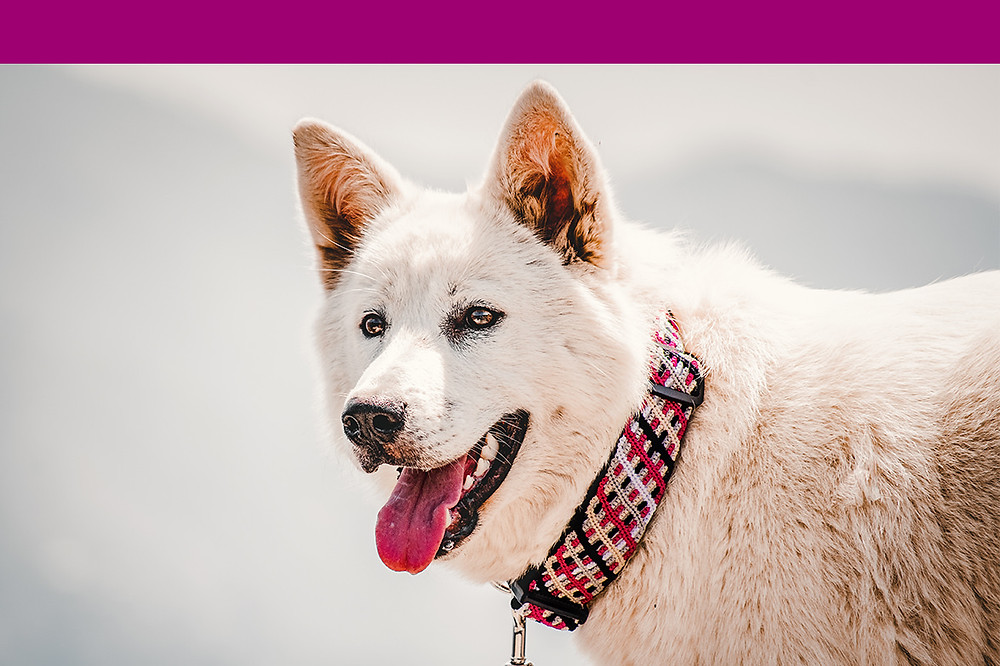 White shepherd wearing a pink primrose large northern lights collar