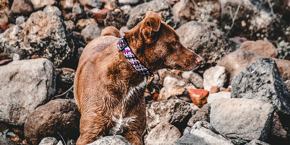 Brown dog looking to the side with a purple huckleberry northern nights collar