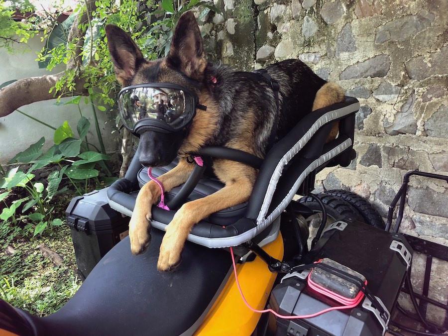 German Shepherd dog wearing Rex Specs eye protection in motorcycle dog carrier