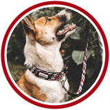 Happy brown and white dog wears handmade red dog collar and matching leash