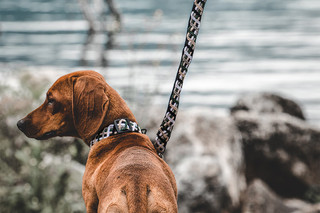 brown-dog-stands-by-lake-wearing-brown-a