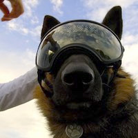 German Shepherd dog wears Rex Specs dog goggles for eye protection