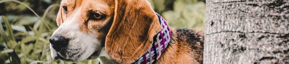 brown-beige-dog-with-floppy-ears-wears-p