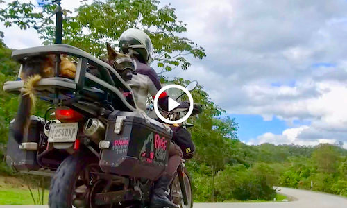 German Shepherd wears Rex Specs eye protection and looks at camera while riding on motorcycle
