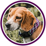 Brown and white dog in the forest wears purple handmade collar