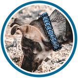 Grey dog sniffs at ground while wearing blue handmade dog collar