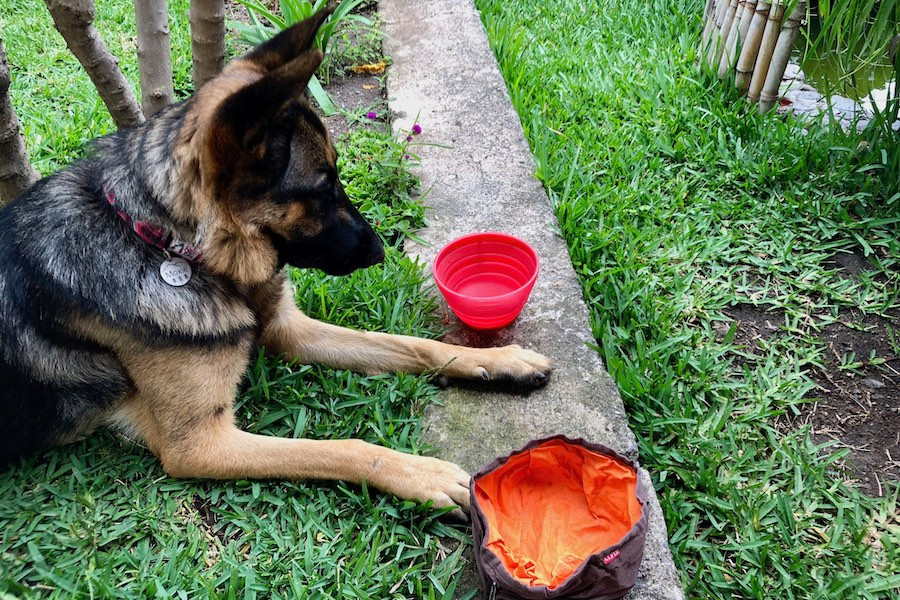 German Shepherd Moxie decides between a cloth or silicone collapsible travel bowl
