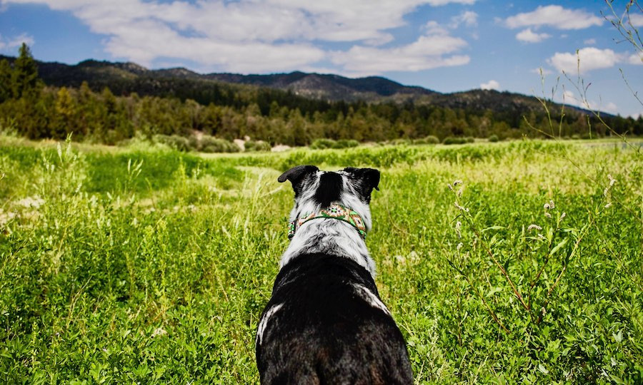 Dog wearing handmade collar in green meadow with mountains