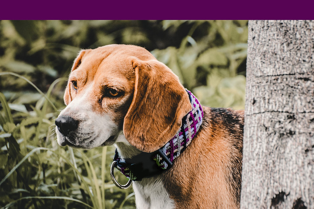 Beagle wearing medium huckleberry purple northern lights collar