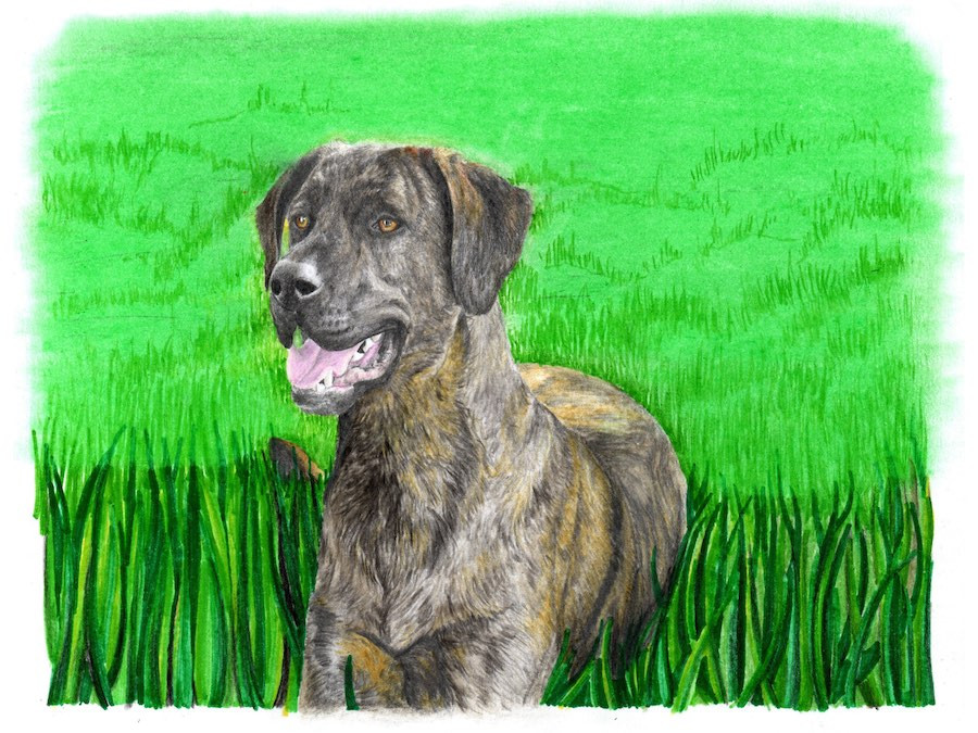 Drawing of a brindle dog laying in the grass