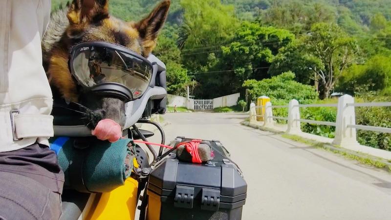 German Shepherd dog on motorcycle wearing Rex Specs and licking lips