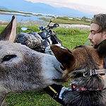 Donkey sniffs over dog and man on motorcycle