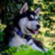 black and white siberian husky wearing blue handmade dog collar rests among green plants
