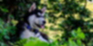 Striking black and white husky sits in forest wearing blue handmade dog collar