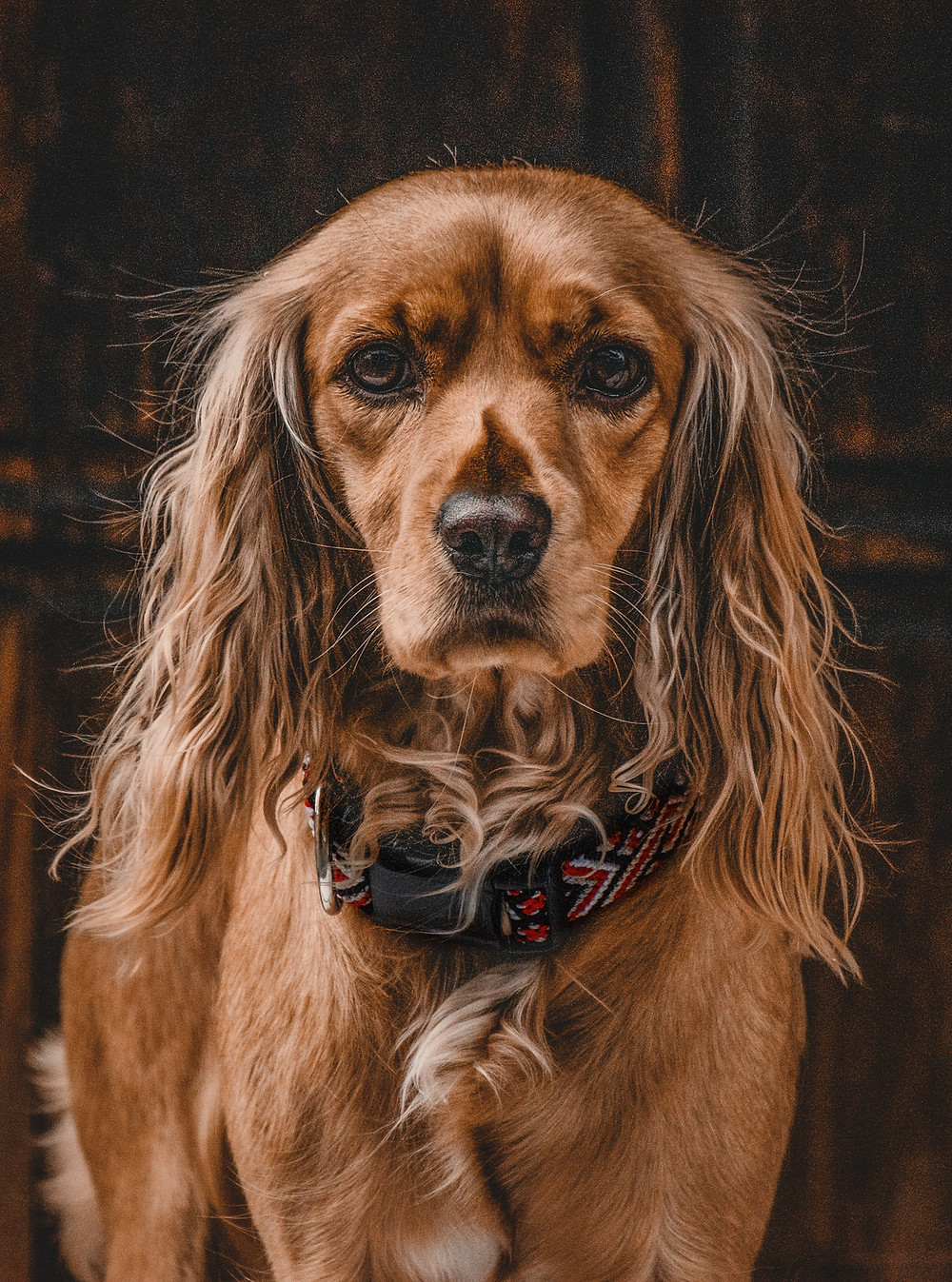 Brown cocker spaniel dog staring at camera