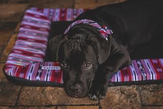 black-puppy-dog-lays-on-comfortable-trav