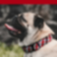 happy-white-pug-with-tongue-out-with-red