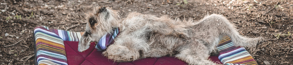 shaggy-brown-dog-lays-on-his-back-outdoo