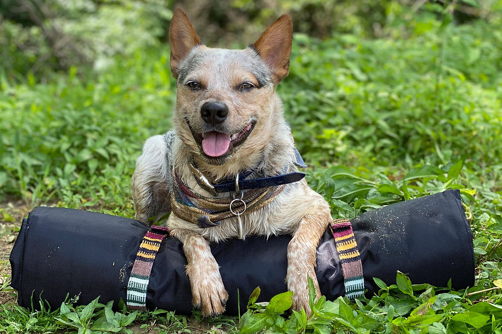 cattle dog on top of rolled up tenderpaw trekker bedroll