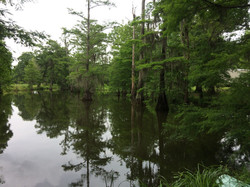 Trees in swamp - Bogue Chitto National Wildlife Refuge, LA, USA