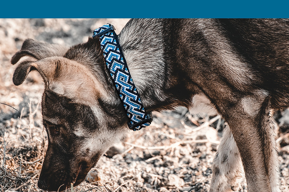 Mixed shepherd wearing riptide blue tailwinds medium collar