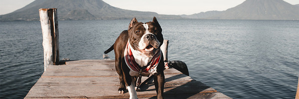 Pitbull standing on wooden dock over lake and wearing handmade red bandana