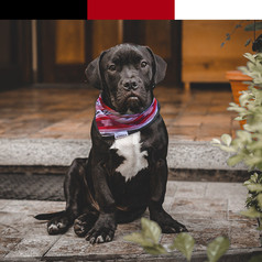 black-dog-with-white-chest-wears-red-and