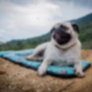 White and black pug lies on colorful travel bed on dirt hillside