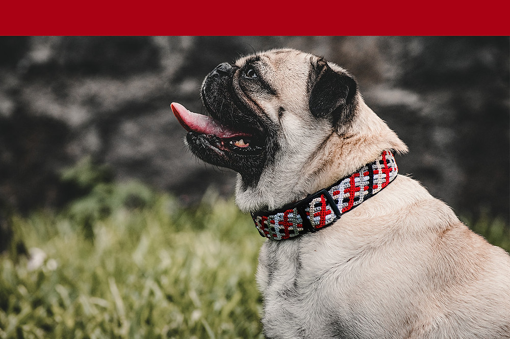 Beige pug wearing a bushfire red northern lights medium collar