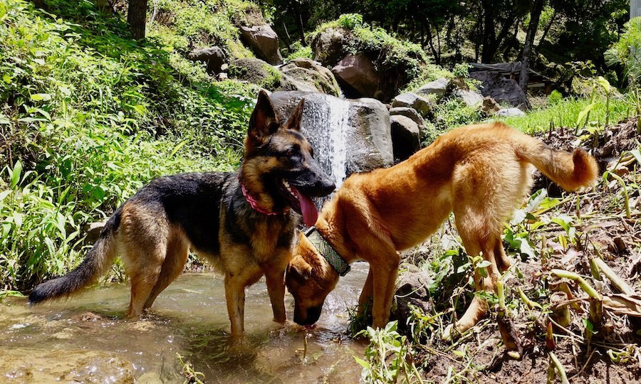 Two dogs drinking in stream with waterfall