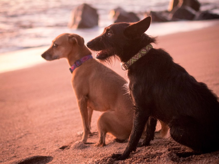 Dogs on beach wearing collars that are handmade by indigenous Guatemalan artisans