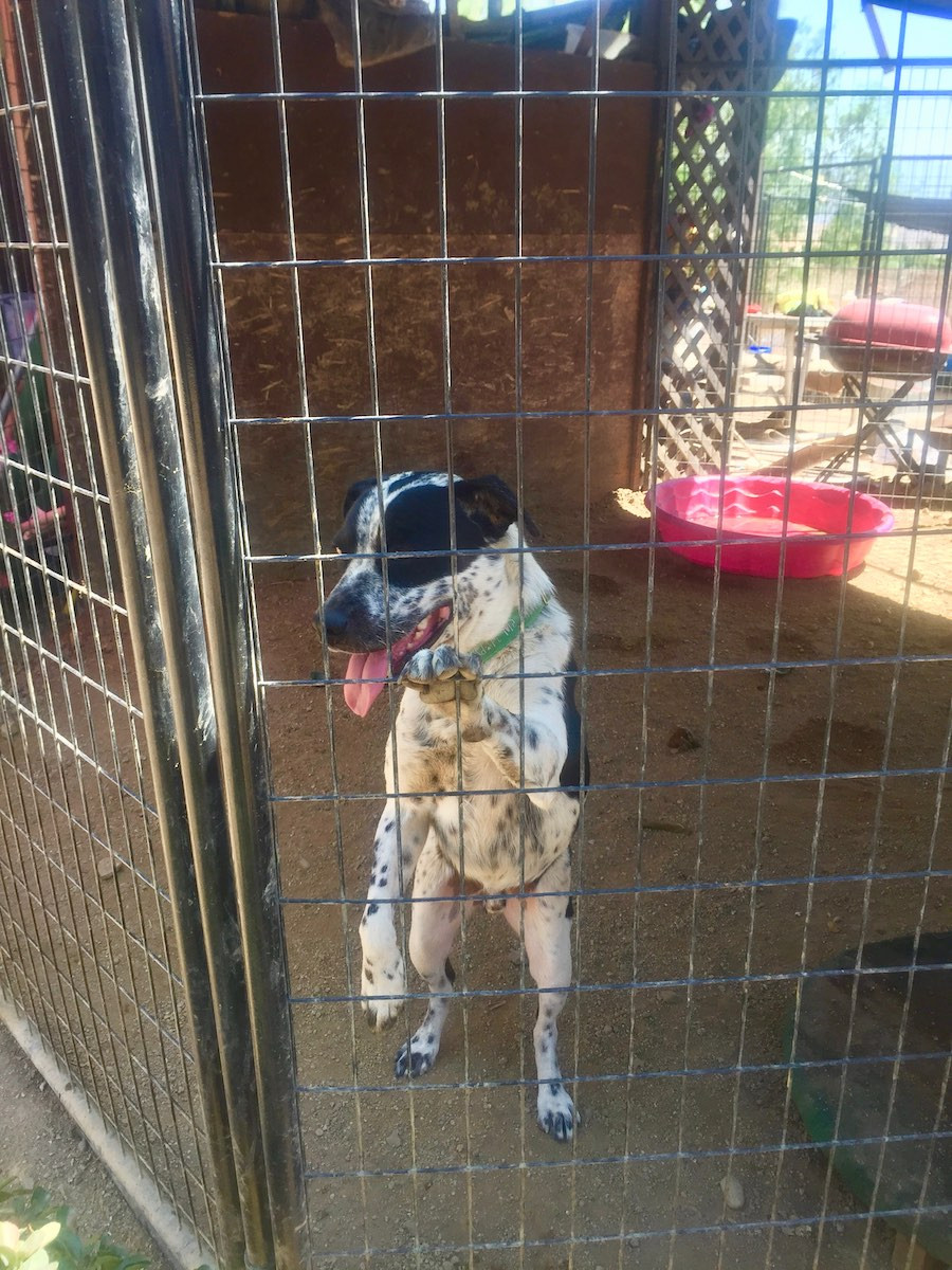 cow dog in shelter kennel