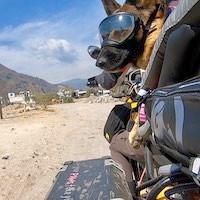 German Shepherd on motorcycle dog carrier riding off-road