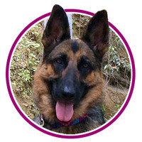 Faceshot of RUFFLY's Lead Product Tester, German Shepherd Moxie