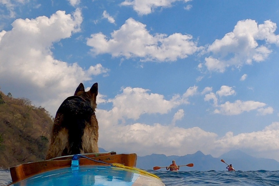 German shepherd dog stands in kayak waiting for other kayakers