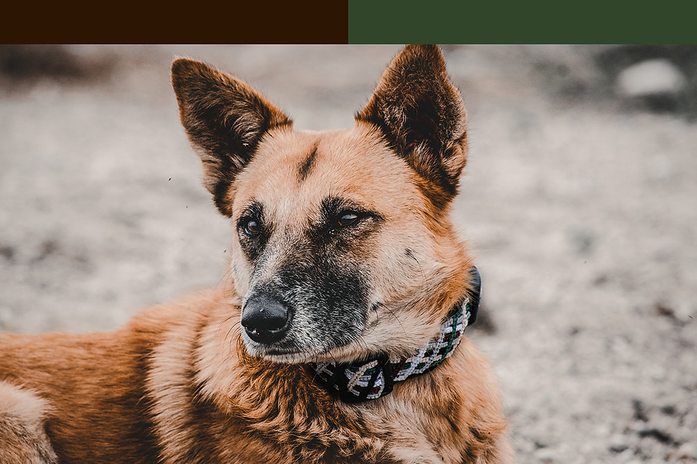 Shepherd mix wearing medium woodlands green and brown northern lights medium collar