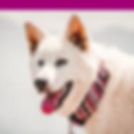 snow-white-large-dog-wears-pink-handmade