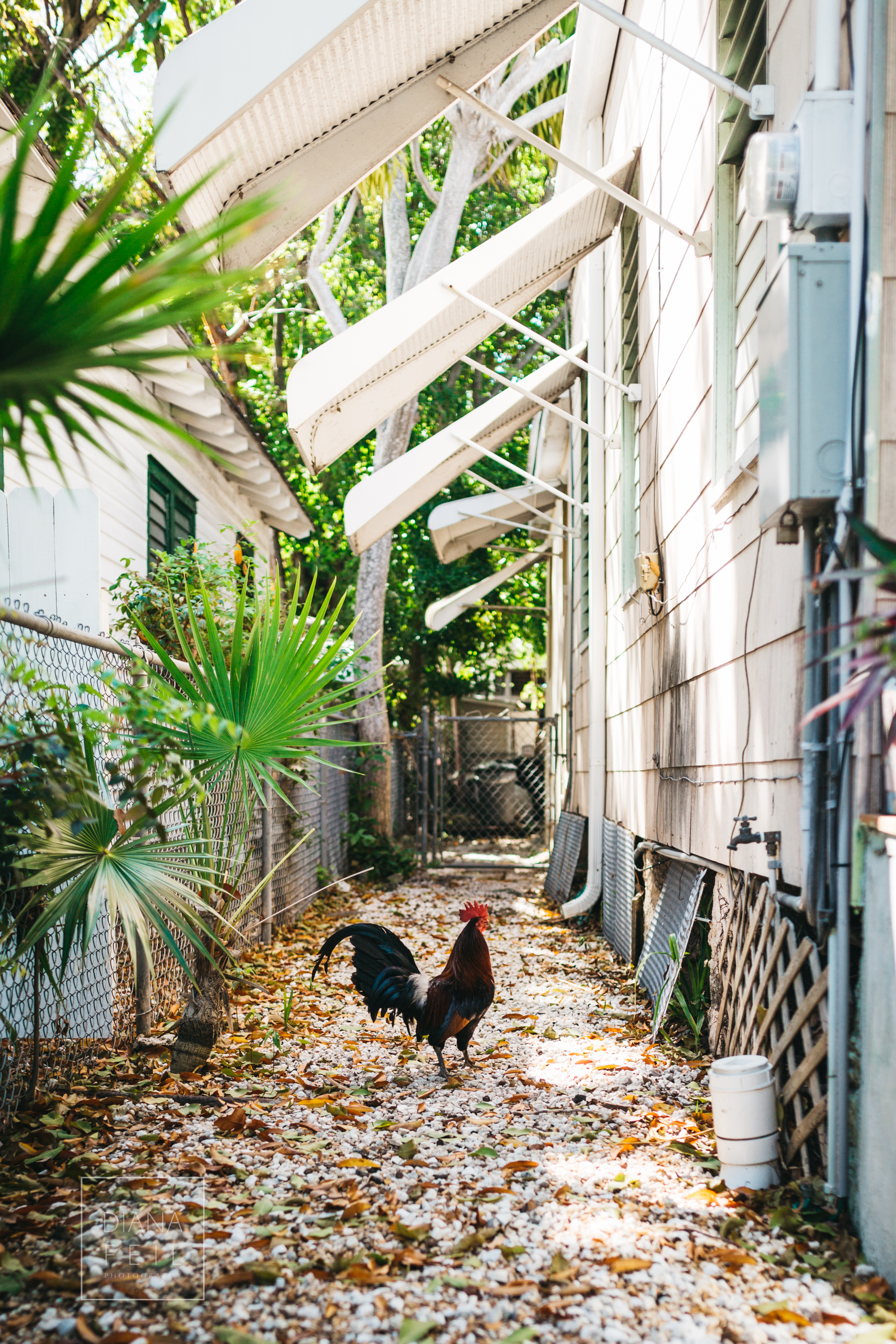 rooster of key west.