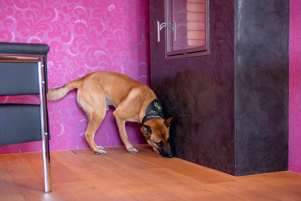 Schimmelspürhund