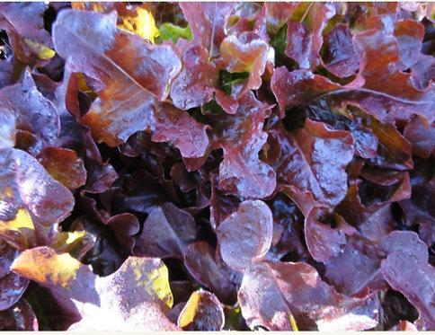 Alface Mimosa roxa orgânica (unidade)