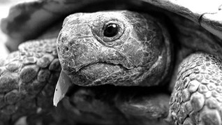 Portrait of a tortoise. While working on
