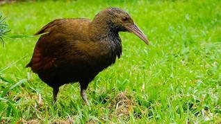 Lord Howe Island Wood Hen.jpg