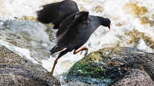 Dusky Moorhen leaping heroically #birds