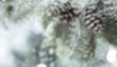 pinecones_evergreen_Snow-e1470147959849.