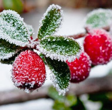 holly-berries.jpg