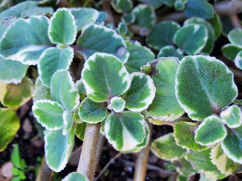 PLANTS: Medicinal/Culinary Herbs