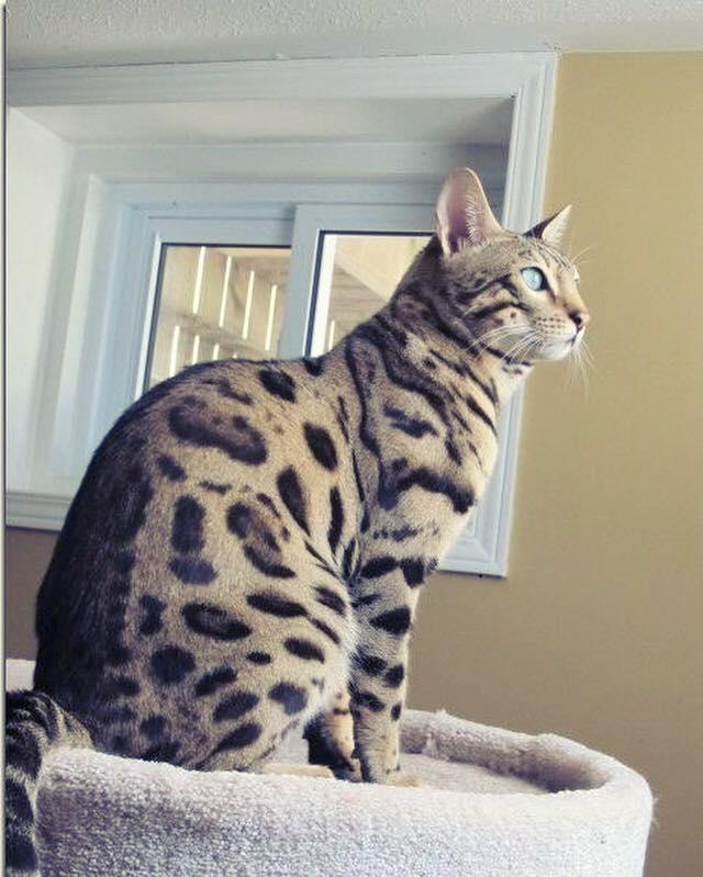 Leo the Bengal Cat
