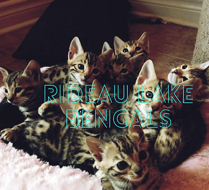 bengal kittens for sale