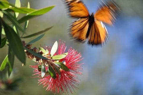 Monarch in Motion.JPG