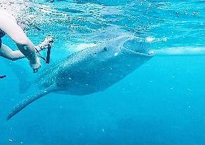 ジンベイザメ+スミロン島+カワサン滝 セブ島オプショナルツアー/セブ島ツアー【セブセレクトツアーズ】